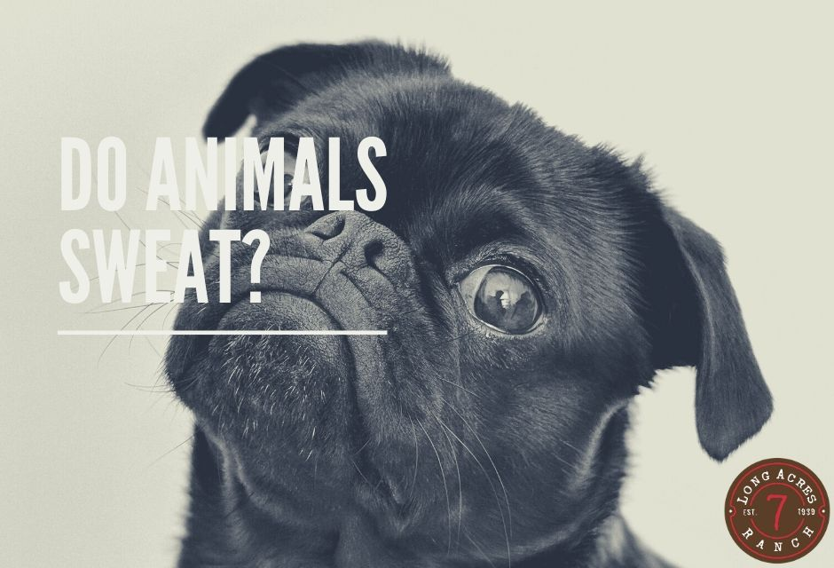 Do Animals Sweat?