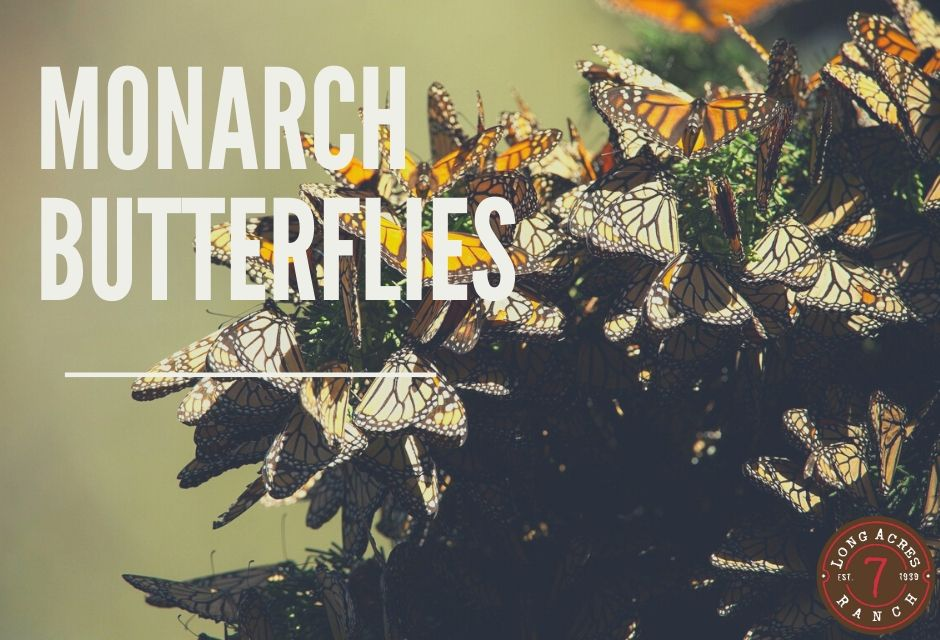 Monarch Butterflies and OE