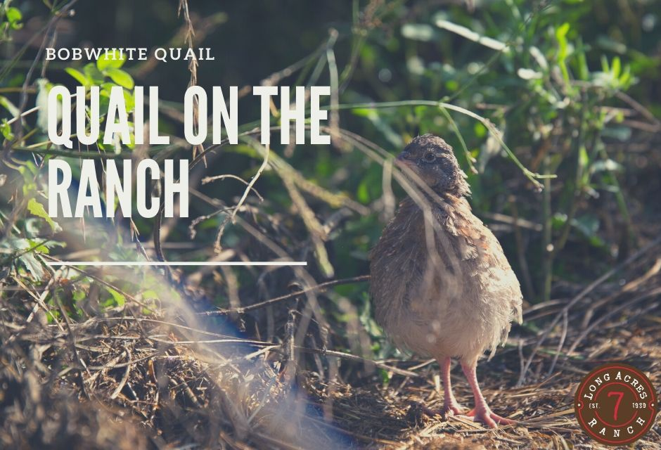 Quail on the Ranch