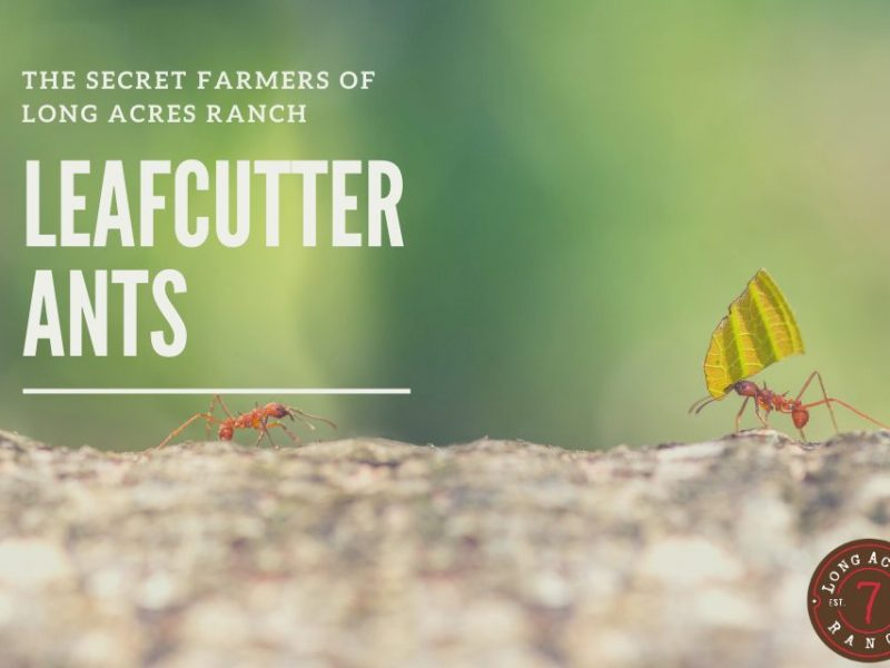 The Secret Farmers of Long Acres Ranch – The Leafcutter Ant
